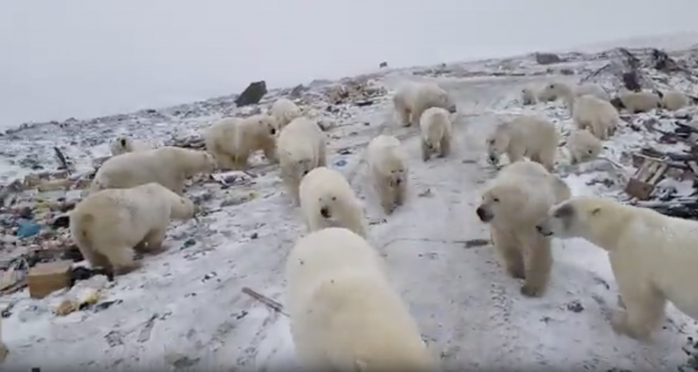 Well-fed Polar Bears Are Not Necessarily Stuck At Novaya